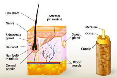 Hair mask for dry hair- hair anatomy